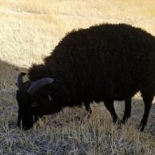 Beautiful black Rosie Cotton!